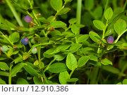 Купить «Неспелые ягоды черники растут на кусту», эксклюзивное фото № 12910386, снято 2 июля 2015 г. (c) Игорь Низов / Фотобанк Лори