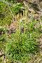 Дифазиаструм сплюснутый, или Дифазиаструм уплощённый, или Плаун сплюснутый, или Плаун обоюдоострый (лат. Diphasiastrum complanatum), эксклюзивное фото № 12910818, снято 24 августа 2015 г. (c) Елена Коромыслова / Фотобанк Лори