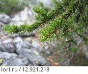 Елка в горах с каплями. Стоковое фото, фотограф Алексей Куртеев / Фотобанк Лори