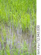 Купить «Rice green leaf», фото № 12943030, снято 22 июля 2019 г. (c) PantherMedia / Фотобанк Лори
