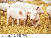 Купить «piglets on hay and straw at pig breeding farm», фото № 12945766, снято 23 августа 2012 г. (c) Дмитрий Калиновский / Фотобанк Лори