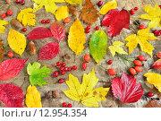 Осенний натюрморт с мокрыми листьями и ягодами. Стоковое фото, фотограф Станислав Самойлик / Фотобанк Лори