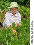 Купить «Пожилая улыбающаяся женщина пропалывает грядку с молодой морковью», фото № 12955882, снято 26 июля 2015 г. (c) Максим Мицун / Фотобанк Лори