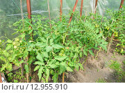 Купить «Кусты помидоров растут в парнике», фото № 12955910, снято 26 июля 2015 г. (c) Максим Мицун / Фотобанк Лори
