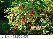 Купить «Ветви красной смородины крупно в ярких лучах солнца», фото № 12956038, снято 1 августа 2015 г. (c) Максим Мицун / Фотобанк Лори
