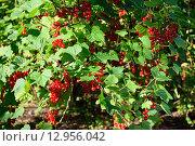 Купить «Ветви красной смородины крупным планом в ярких лучах солнца», фото № 12956042, снято 1 августа 2015 г. (c) Максим Мицун / Фотобанк Лори