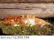 Два рыжих кота. Стоковое фото, фотограф Оксана Лычева / Фотобанк Лори
