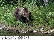 Купить «Камчатский бурый медведь (Ursus arctos piscator). Камчатский край», фото № 12959678, снято 21 августа 2015 г. (c) А. А. Пирагис / Фотобанк Лори