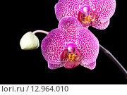 Купить «Розовые орхидеи на черном фоне», эксклюзивное фото № 12964010, снято 17 февраля 2012 г. (c) Яна Королёва / Фотобанк Лори