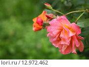 Купить «Pink roses», фото № 12972462, снято 15 июля 2015 г. (c) Елена Блохина / Фотобанк Лори