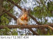 Купить «Белка сидит на ветке дерева», фото № 12987434, снято 23 февраля 2015 г. (c) Корнеев Вячеслав / Фотобанк Лори