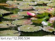 Купить «Бутон водяной лилии», фото № 12990534, снято 9 ноября 2008 г. (c) Морозова Татьяна / Фотобанк Лори