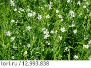 Купить «Звездчатка лесная, или дубравная (лат. Stellaria nemorum), фон», эксклюзивное фото № 12993838, снято 25 мая 2015 г. (c) Елена Коромыслова / Фотобанк Лори