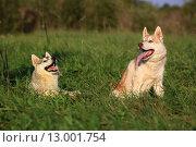 Две собаки. Хаски и маламут. Стоковое фото, фотограф Савчук Алексей / Фотобанк Лори