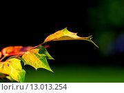Купить «Rusty autumn leaves», фото № 13013254, снято 19 марта 2019 г. (c) PantherMedia / Фотобанк Лори