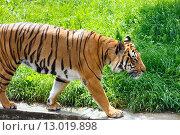 Купить «walking tiger», фото № 13019898, снято 29 мая 2012 г. (c) Юрий Брыкайло / Фотобанк Лори