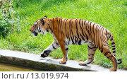 Купить «walking tiger», фото № 13019974, снято 29 мая 2012 г. (c) Юрий Брыкайло / Фотобанк Лори