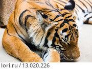 Купить «sleeping tiger», фото № 13020226, снято 29 мая 2012 г. (c) Юрий Брыкайло / Фотобанк Лори