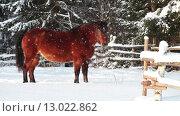 Гнедая лошадь смотрит в камеру на зимнем пастбище, зима, падающий снег. Стоковое видео, видеограф Кекяляйнен Андрей / Фотобанк Лори