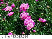 Купить «Пион ярко-розовый (Paeonia)», фото № 13023386, снято 5 июня 2012 г. (c) Алёшина Оксана / Фотобанк Лори