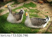 Два гуся. Стоковое фото, фотограф Tatiana Artamonova / Фотобанк Лори