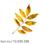 Купить «dry fallen ash tree leaf», фото № 13030398, снято 7 октября 2015 г. (c) Syda Productions / Фотобанк Лори