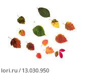 Купить «set of many different fallen autumn leaves», фото № 13030950, снято 7 октября 2015 г. (c) Syda Productions / Фотобанк Лори