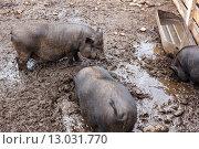 Свиньи в грязи. Стоковое фото, фотограф Виктор Колдунов / Фотобанк Лори