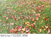 Купить «close up of fallen maple leaves on grass», фото № 13031954, снято 9 октября 2015 г. (c) Syda Productions / Фотобанк Лори