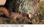 Купить «Белка в осеннем лесу», видеоролик № 13033146, снято 6 ноября 2015 г. (c) Яна Королёва / Фотобанк Лори