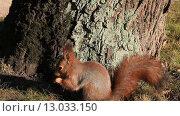 Купить «Шустрая белка в лесу», видеоролик № 13033150, снято 6 ноября 2015 г. (c) Яна Королёва / Фотобанк Лори