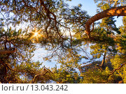 Солнце светит сквозь ветви сосны в зимний период. Стоковое фото, фотограф Александр Корчагин / Фотобанк Лори