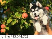 Милый щенок хаски на руках. Стоковое фото, фотограф Савчук Алексей / Фотобанк Лори