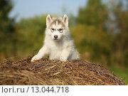 Двухмесячный щенок хаски на природе. Стоковое фото, фотограф Савчук Алексей / Фотобанк Лори