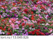 Бальзамин в саду. Стоковое фото, фотограф Ирина Садовская / Фотобанк Лори