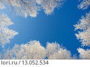 Купить «Иней на ветвях деревьев , вид снизу вверх», фото № 13052534, снято 11 ноября 2015 г. (c) Алексей Маринченко / Фотобанк Лори