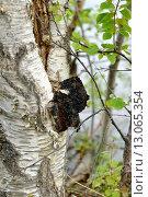 Купить «Лекарственный гриб чага на стволе березы», фото № 13065354, снято 2 июля 2015 г. (c) Валерия Попова / Фотобанк Лори