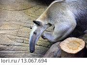 Большой муравьед в зоопарке. Стоковое фото, фотограф Алексей Кокоулин / Фотобанк Лори