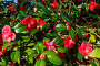 Blossoming Camellia bush with red flowers., фото № 13071986, снято 20 марта 2014 г. (c) Юрий Брыкайло / Фотобанк Лори