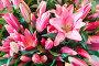 Amaryllis flowers bouquet, фото № 13072098, снято 24 марта 2014 г. (c) Юрий Брыкайло / Фотобанк Лори
