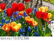 Купить «Multicolored flowers on spring flowerbed.», фото № 13072586, снято 28 марта 2014 г. (c) Юрий Брыкайло / Фотобанк Лори