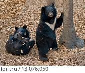 Купить «Два гималайских медведя в лесу», фото № 13076050, снято 6 ноября 2015 г. (c) Георгий Хрущев / Фотобанк Лори
