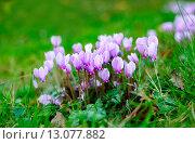 Купить «Цветки розового цикламена», фото № 13077882, снято 18 октября 2015 г. (c) Татьяна Кахилл / Фотобанк Лори