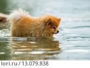 Шпиц в воде. Стоковое фото, фотограф Олег Вдовин / Фотобанк Лори