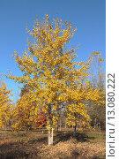Купить «Осенняя осина в парке», эксклюзивное фото № 13080222, снято 5 ноября 2015 г. (c) Ирина Водяник / Фотобанк Лори