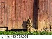 Собака сидит на цепи возле забора. Стоковое фото, фотограф Олег Вдовин / Фотобанк Лори