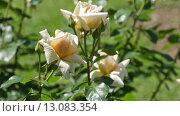 Купить «blossoming roses plant in spring garden», видеоролик № 13083354, снято 23 мая 2015 г. (c) Яков Филимонов / Фотобанк Лори