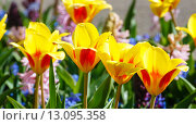 Spring yellow-red tulips and pink hyacinths close-up. Стоковое фото, фотограф Юрий Брыкайло / Фотобанк Лори