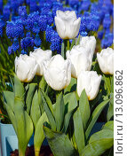 Купить «Beautiful white tulips and blue flowers behind», фото № 13096862, снято 28 марта 2014 г. (c) Юрий Брыкайло / Фотобанк Лори