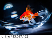 Купить «Goldfish», фото № 13097162, снято 8 сентября 2010 г. (c) Андрей Армягов / Фотобанк Лори